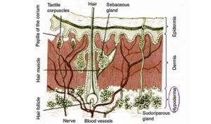 struktura kože in nastanek celulita